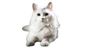 cat breeds,Turkish Angora Cat Breed Information