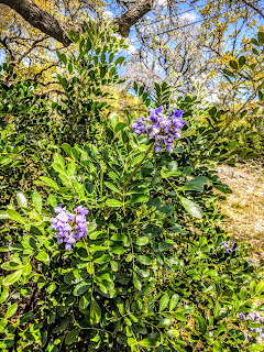 A mountain laurel bush flowering with sweet-smelling violet flowers.