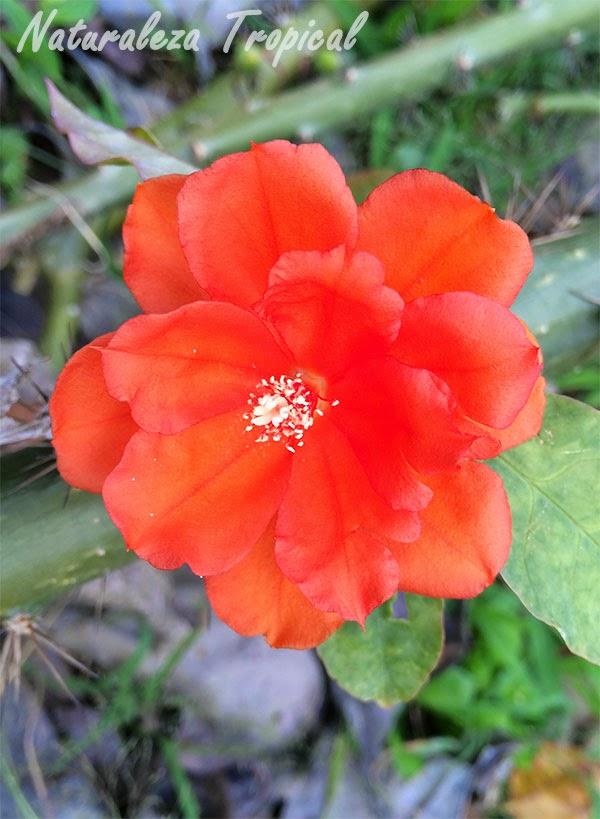 La flor de Pereskia bleo, planta Guamacho
