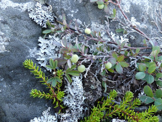 Airelle des marais - Vaccinium uliginosum