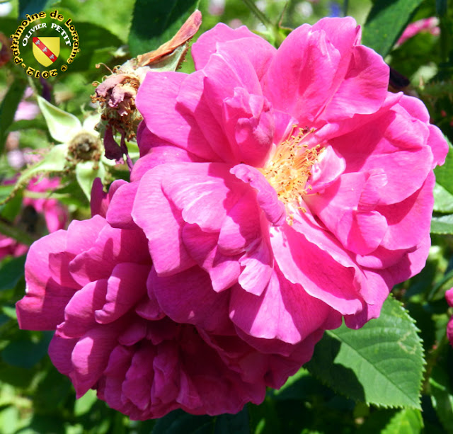 VILLERS-LES-NANCY (54) - La roseraie du Jardin botanique du Montet - Rose Centifolia muscosa - Henri Martin