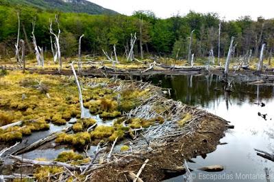 Castorera en el Parque Nacional Tierra del Fuego, Ushuaia, Argentina.