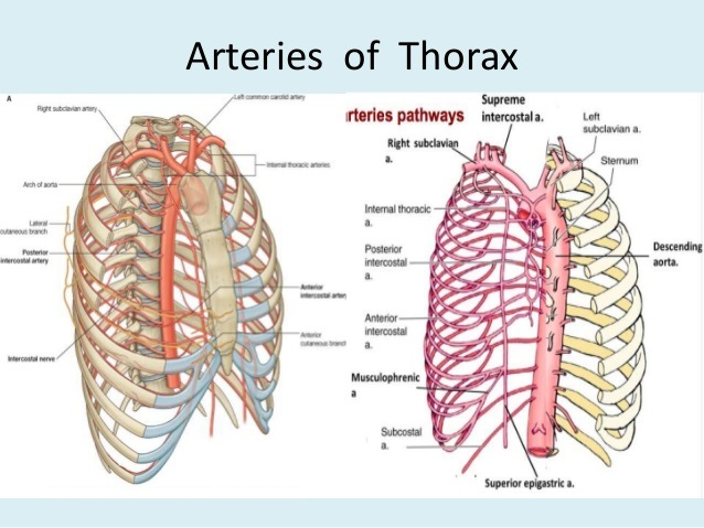 Diagrams Anatomy Of Thorax