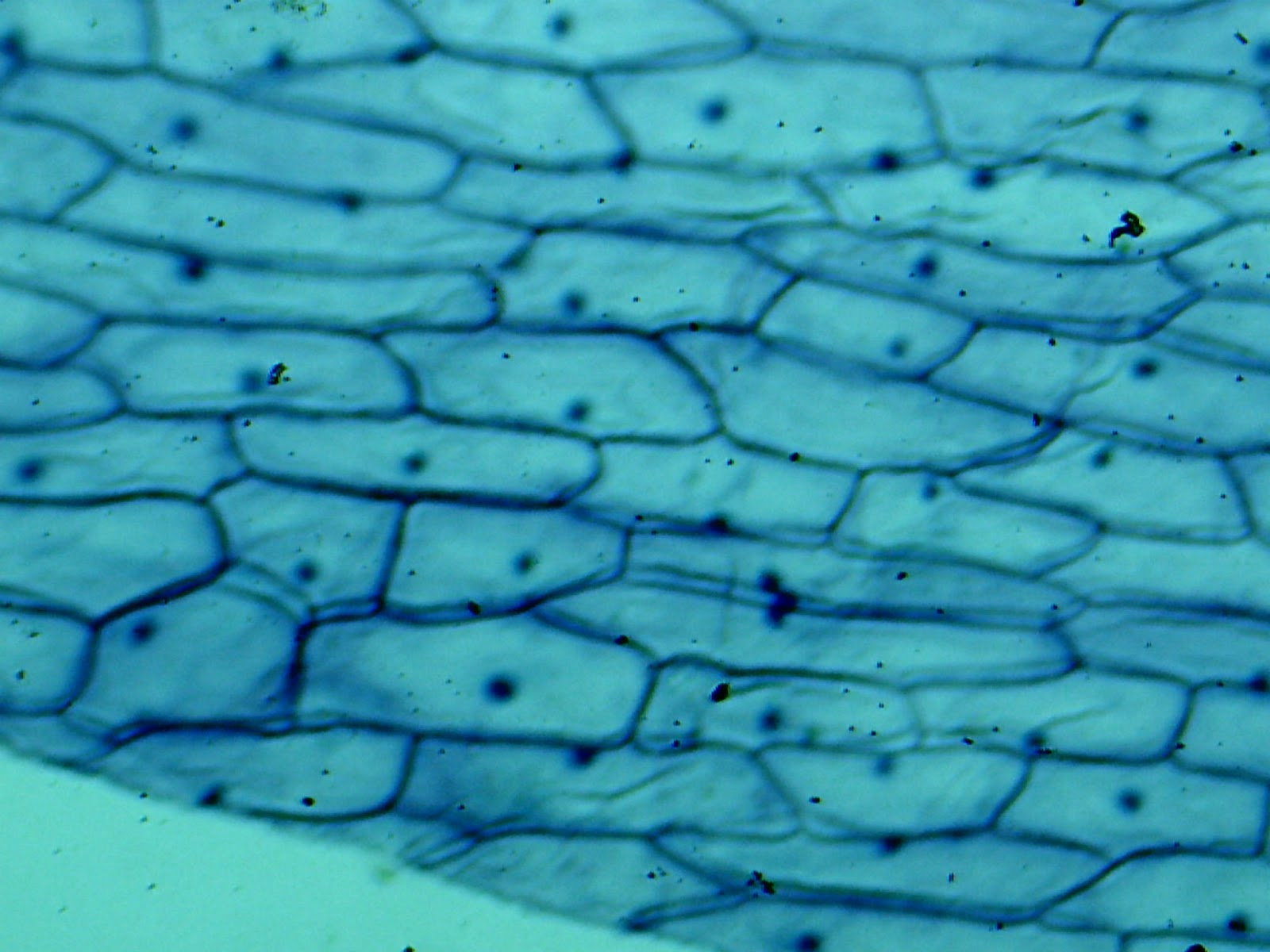 Onion Cell 40x