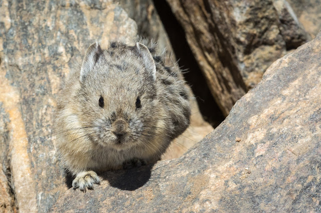 Pika, Mount Elbert