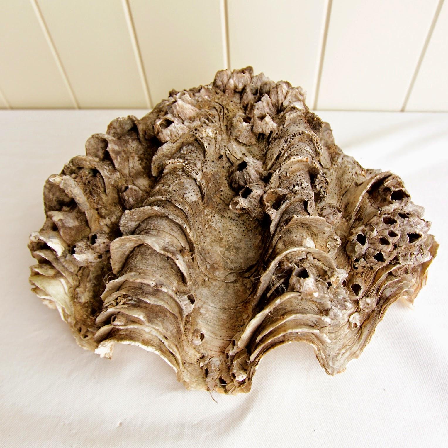 how to clean quahog clams