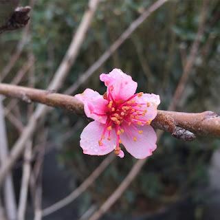 peach blooms