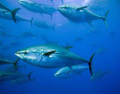 Migração de Peixes | Classificação dos Peixes Migratórios
