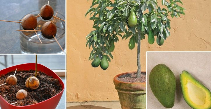 Do Not Buy An Avocado Anymore. Here's How To Grow Avocado Tree At Home