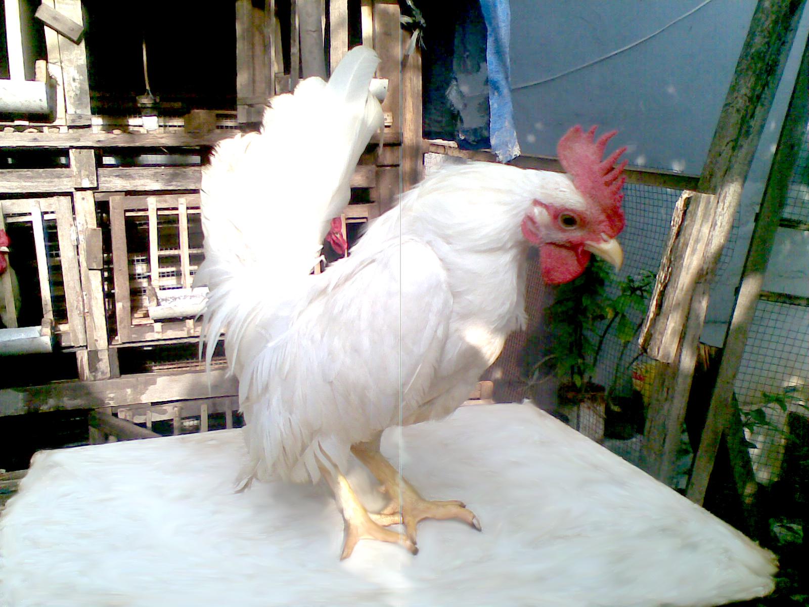 Ayam Mudah Sakit? Cari Tahu Solusinya di Sini!