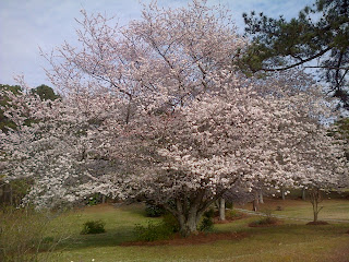photo of flowering cherry tree