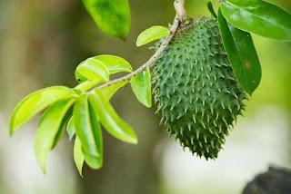 daun Sirsak ialah daun yang mempunyai banyak manfaat dan khasiat bagi  Manfaat Daun Sirsak Untuk Kista Ovarium