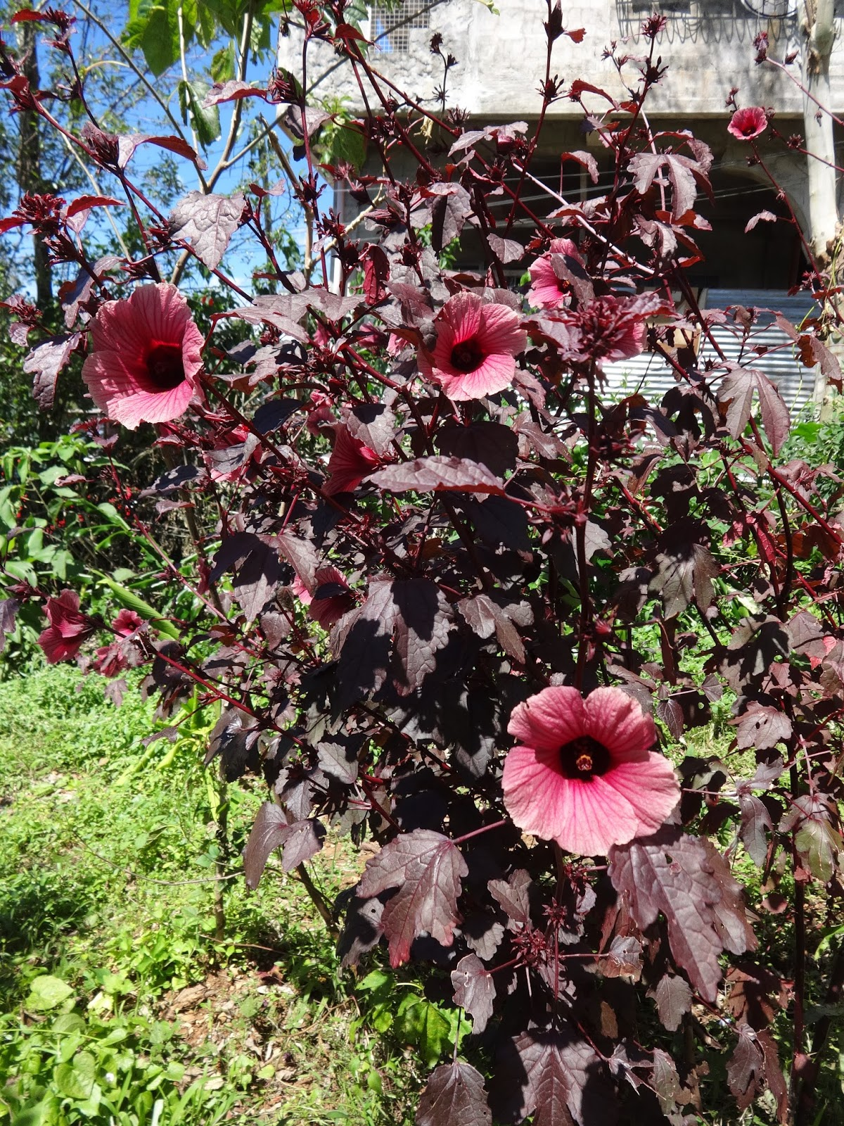 Herbs from distant lands hibiscus acetosella cranberry hibiscus you are what you eat they say i never seen such a red caterpillar so i guess its color is caused by its hibiscus diet izmirmasajfo