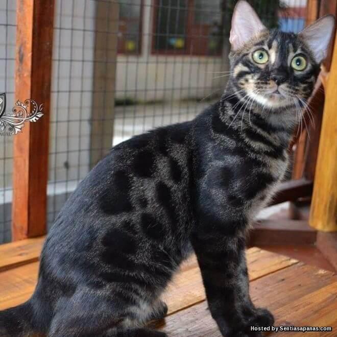 Fakta kucing Bengal