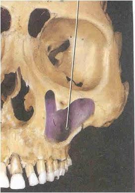 SevaDharma Dental Clinic: Maxillary Sinus Anatomy & Sinus membrane
