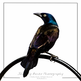 Common Grackle. Copyright © Shelley Banks, all rights reserved
