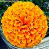 Picture of Marigold