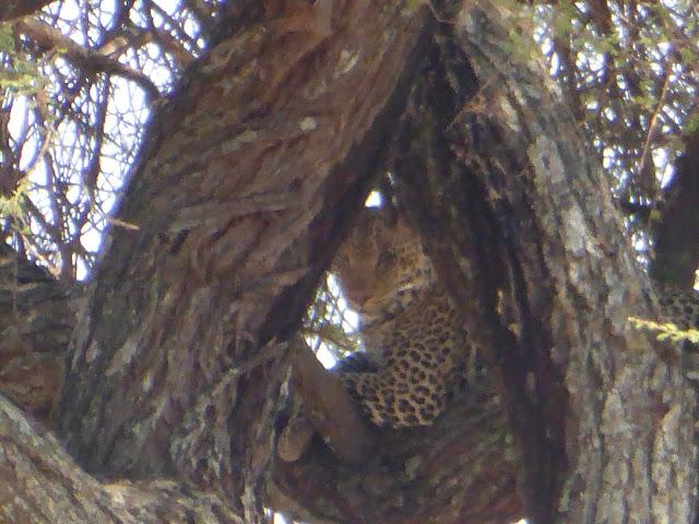 El leopardo nos observa