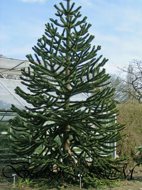 Botaniquarium - Araucaria araucana habit