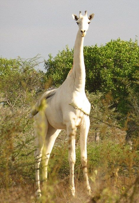 High and whitey Rare Albino Giraffe