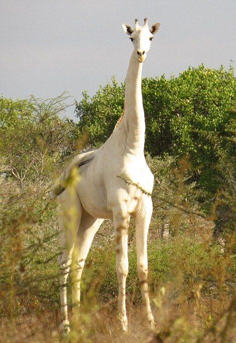 High and whitey Rare Albino Giraffe