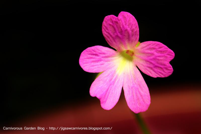 P_ema_mor_ehl_flower_2.JPG