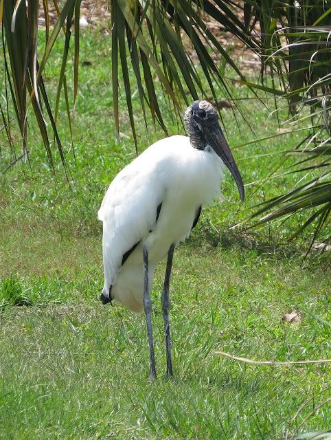 Wood Stork - Orlando, Florida
