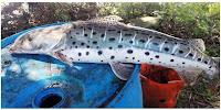 História de Pescador, Pescaria, Peixes, No de Pesca, Pintado