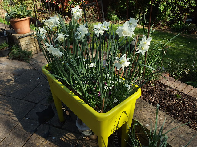 Raised planter with spring bulbs which will be used for cucumbers later this yea