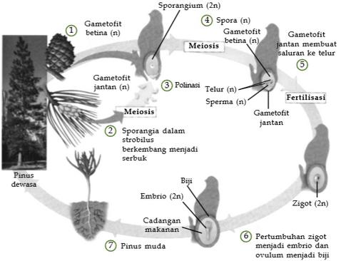 siklus-hidup-gymnospermae