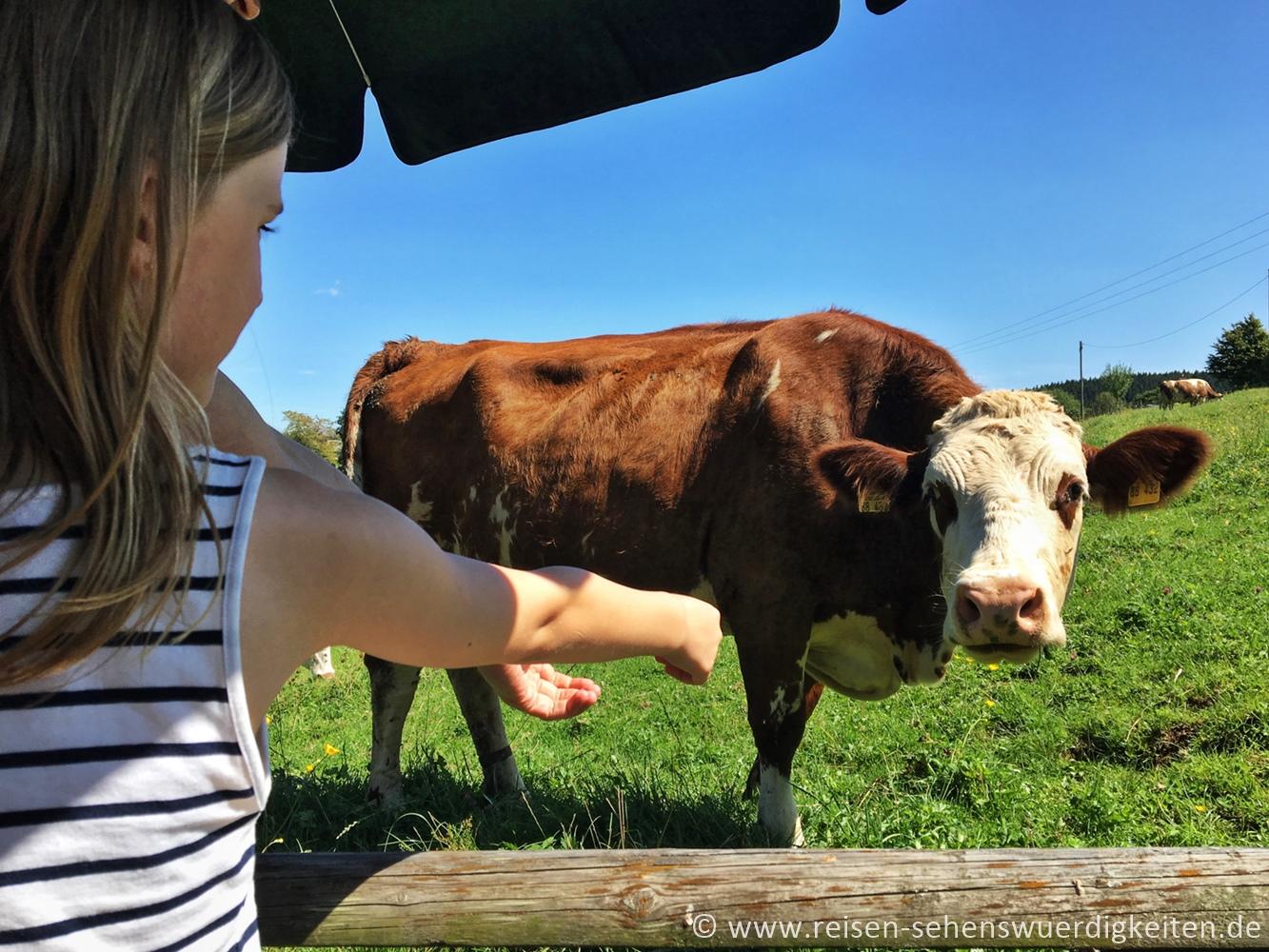 Kuh auf der Weide wird gefüttert