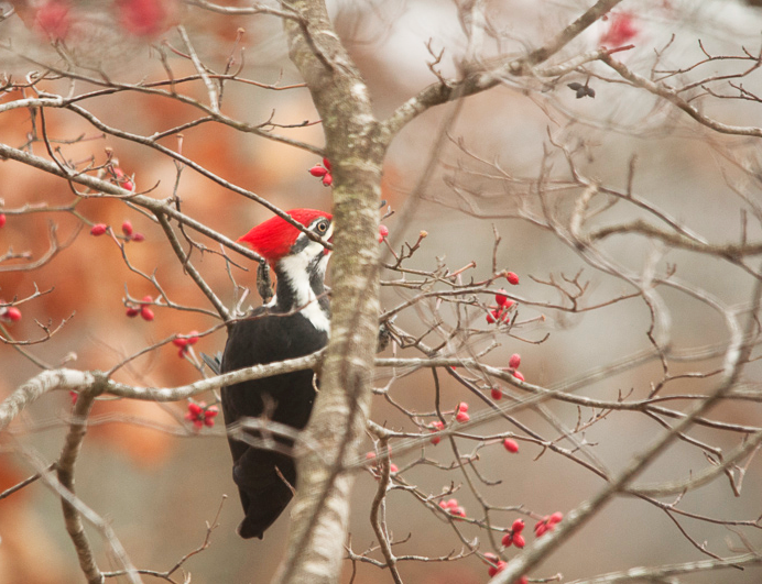 Pileated Woodpecker in Dogwood Tree