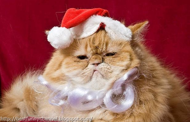 Cat in Christmas outfit.