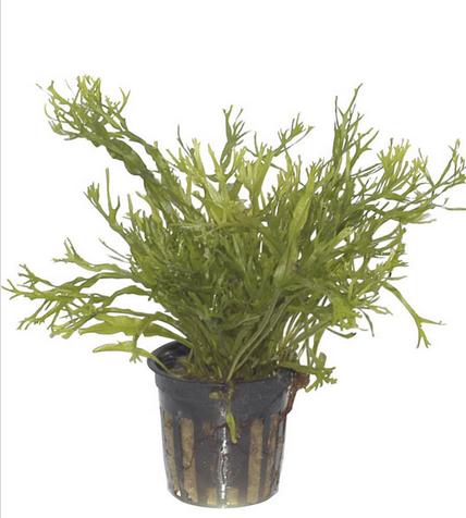 dương xỉ sừng hươu dễ trồng, hình dáng lá đẹp