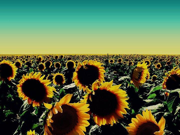 Kotak Imajinasi Filosofi Bunga Matahari