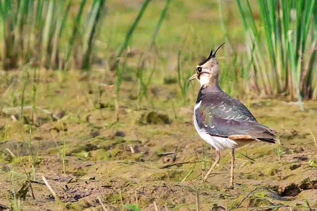 bird, Lapwing, Vanellus vanellus