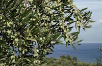 La Domenica dell'Olivo: Poesia di Pasqua di Giovanni Pascoli