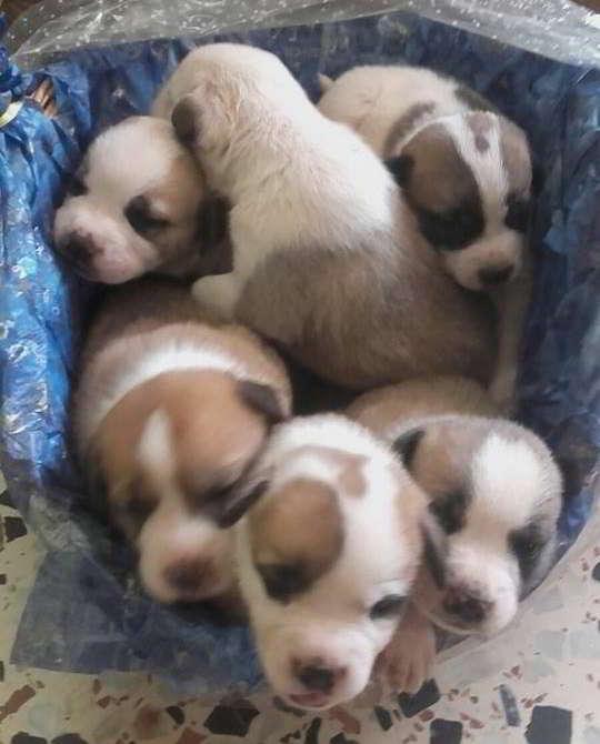 cachorras cruce bulldog