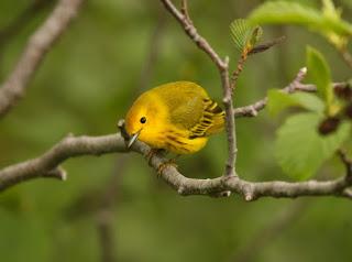 Yellow Warbler found while birding in Newfoundland