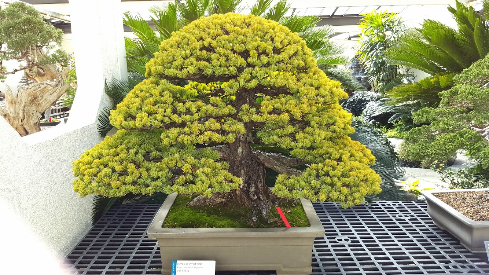 Bonsai Misadventures The Bonsai And Penjing Museum At The