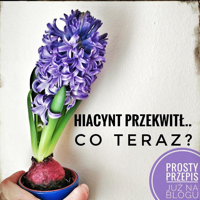 Hiacynt przekwitł, co teraz? Prosty przepis na przygotowanie roślin cebulowych do następnego kwitnienia.