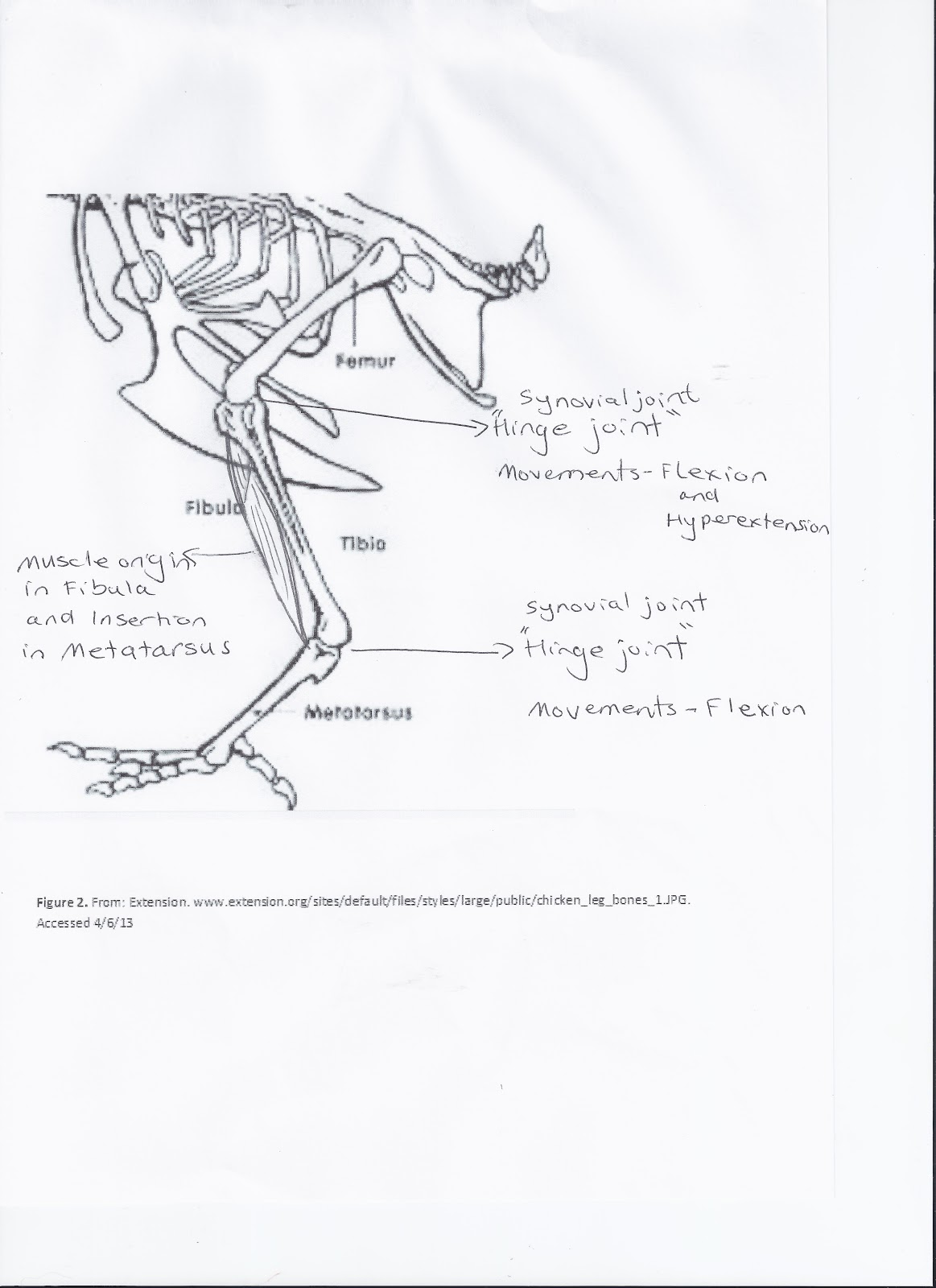Chicken Muscle Diagram 1993 Club Car 36 Volt Wiring Debbie 39s Blog Lab Leg Dissection