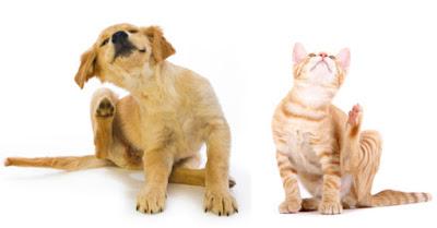 Svrab je jedan od najčešćih simptoma alergije kod pasa i mačaka
