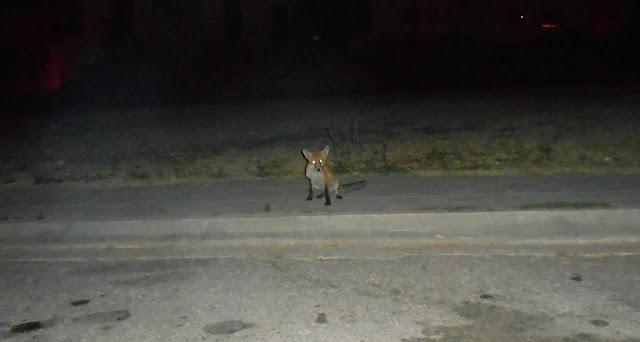 Αλεπού… στην βραδινή της βόλτα στο κέντρο του Τσοτυλίου