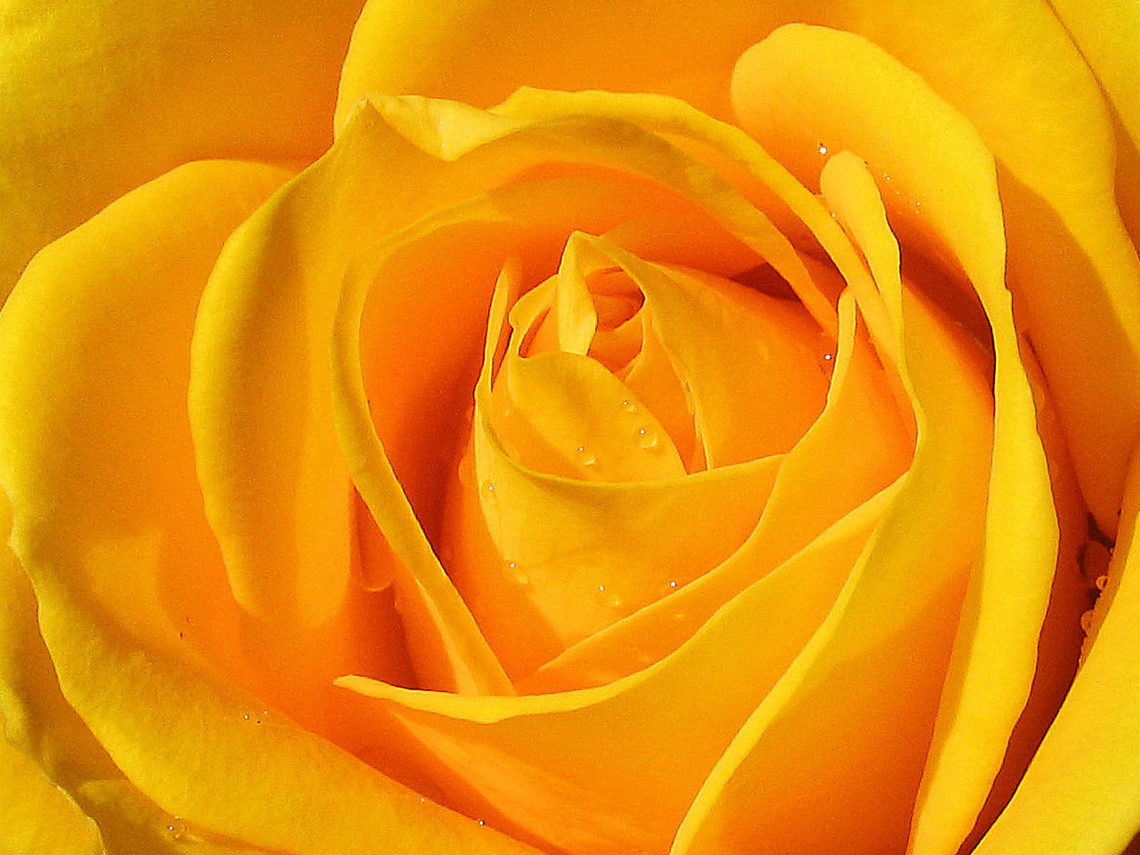 HD Wallpapers: Yellow Roses Pictures