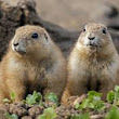 Prairie dog HD images free download
