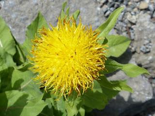 Centaurée à Grosses têtes (Centaurea macrocephala)