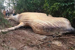 Wow! Paus Raksasa Sepanjang 7,6 Meter Terdampar di Hutan Mangrove