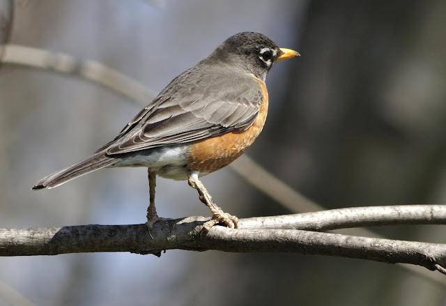 american robin bird images