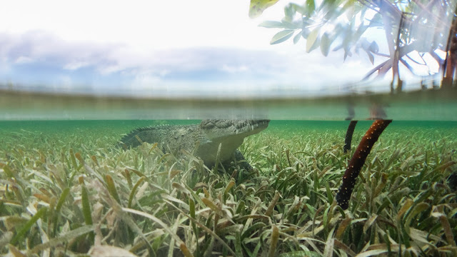 Over under photo crocodile mangroves